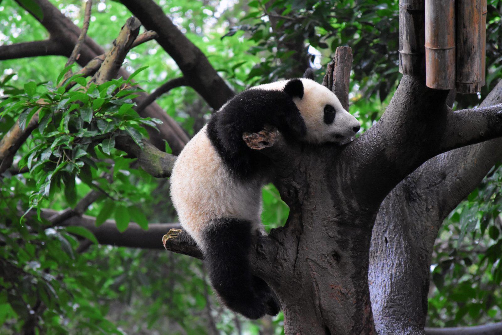 A panda climbing a tree in the Hendu province of China
