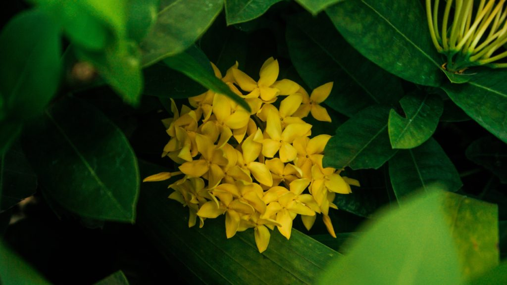 Osmanthus flower is used in tea for flavor and health