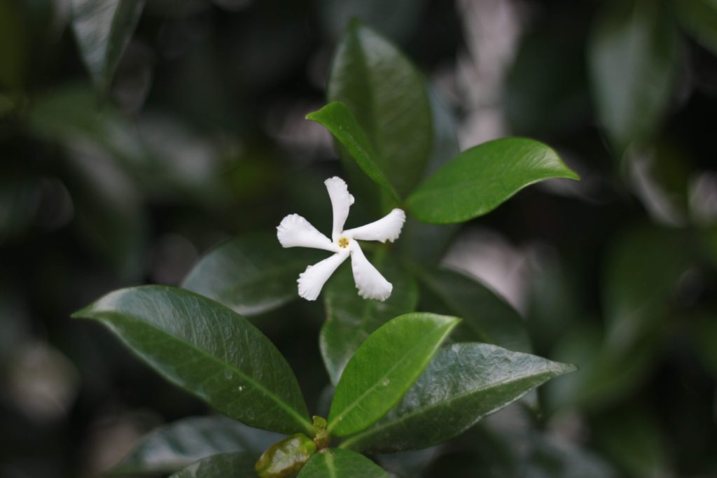 Jasmine tea is packed with flower power