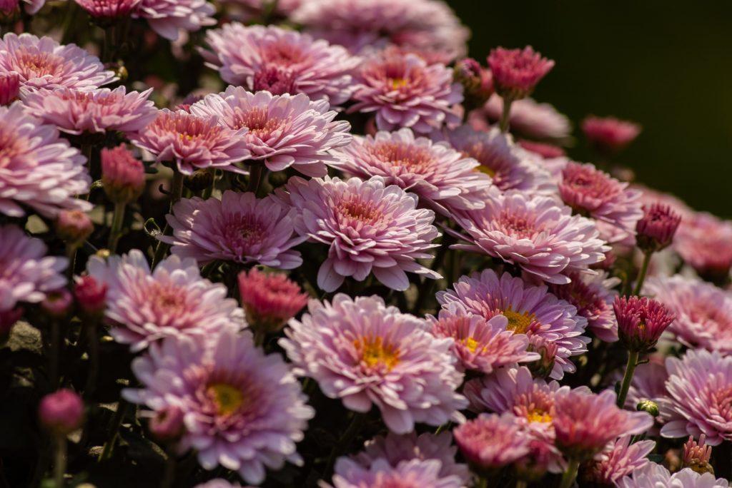 Chrysanthemums are full of flower power